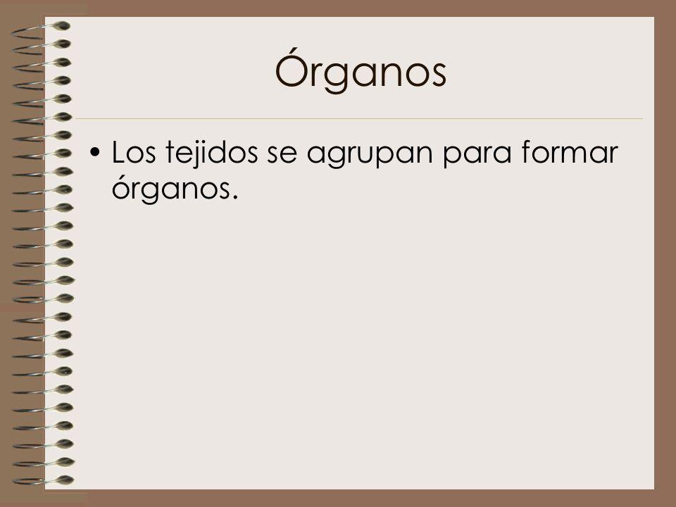 Órganos Los tejidos se agrupan para formar órganos.
