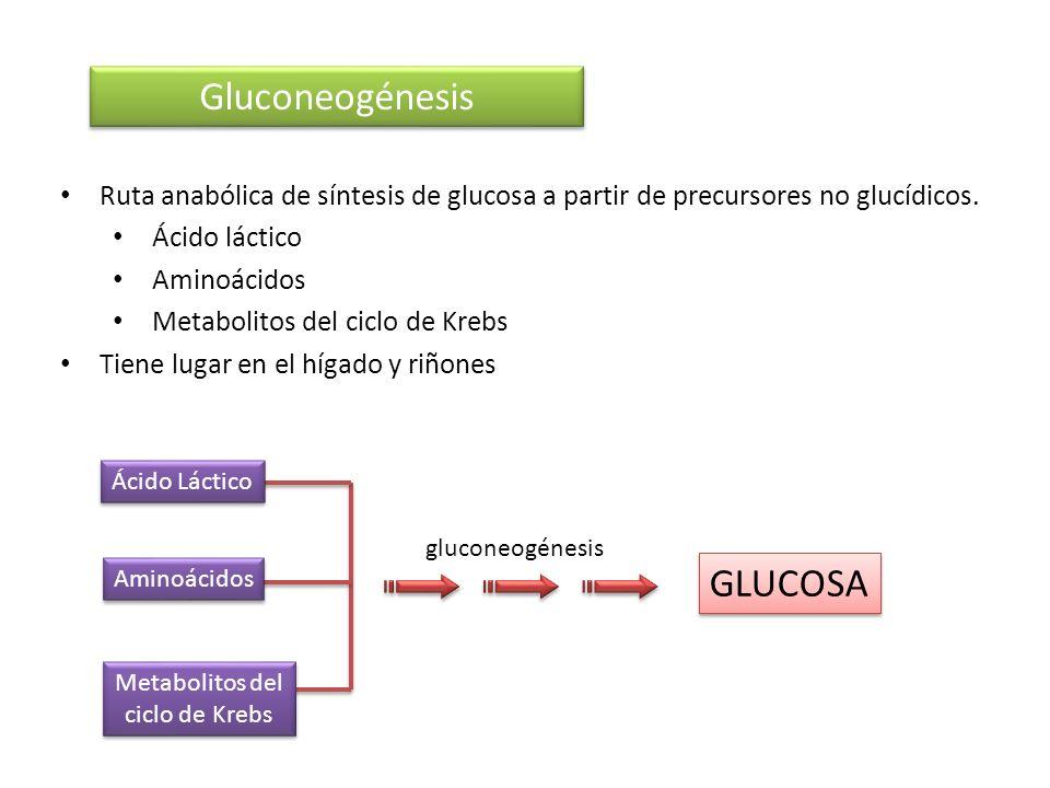 Ruta anabólica de síntesis de glucosa a partir de precursores no glucídicos. Ácido láctico Aminoácidos Metabolitos del ciclo de Krebs Tiene lugar en e