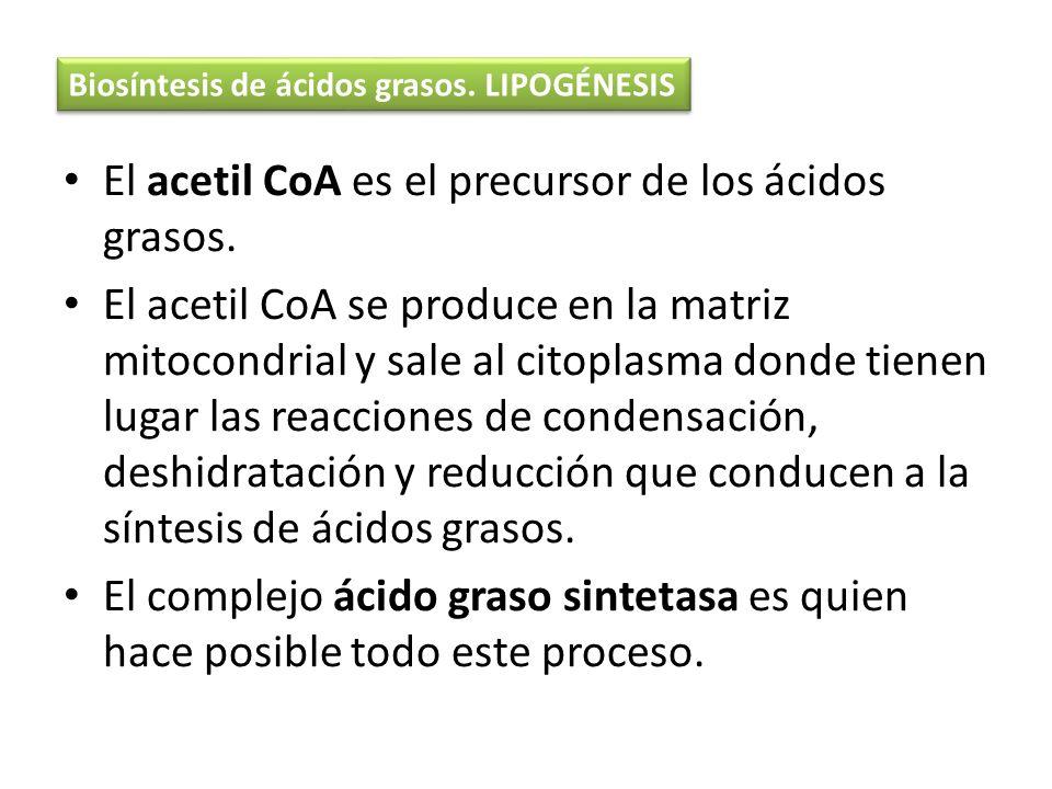 El acetil CoA es el precursor de los ácidos grasos. El acetil CoA se produce en la matriz mitocondrial y sale al citoplasma donde tienen lugar las rea