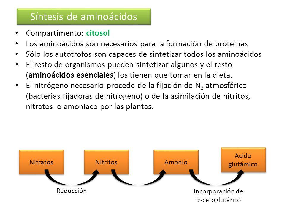 Síntesis de aminoácidos Compartimento: citosol Los aminoácidos son necesarios para la formación de proteínas Sólo los autótrofos son capaces de sintet