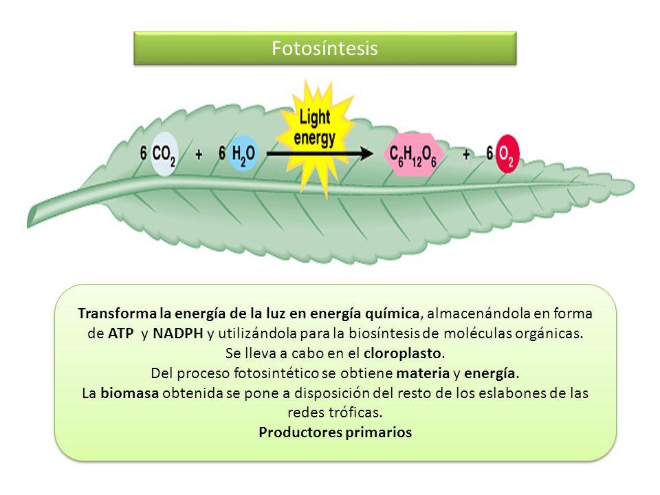 Fotosíntesis Transforma la energía de la luz en energía química, almacenándola en forma de ATP y NADPH y utilizándola para la biosíntesis de moléculas