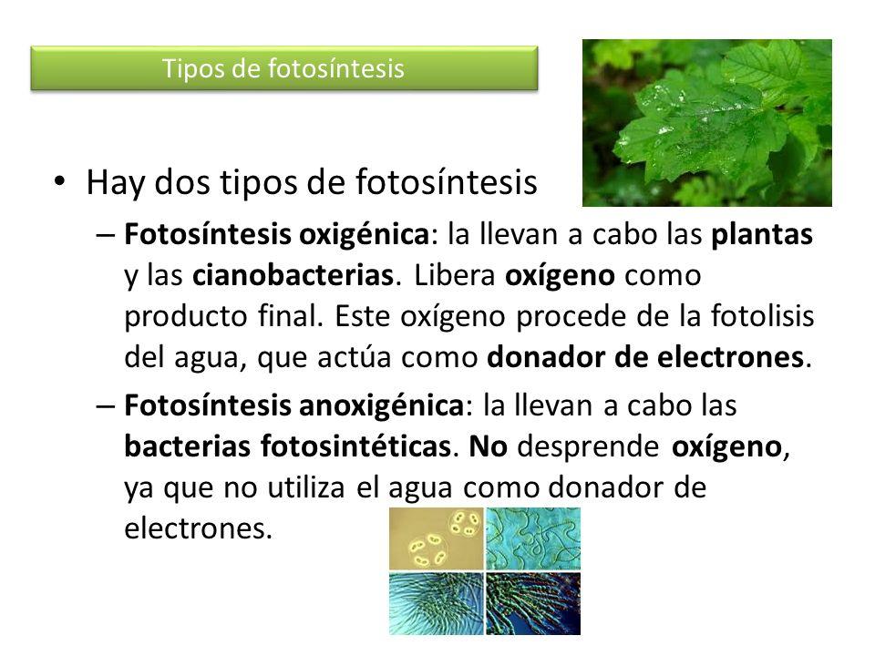 Hay dos tipos de fotosíntesis – Fotosíntesis oxigénica: la llevan a cabo las plantas y las cianobacterias. Libera oxígeno como producto final. Este ox