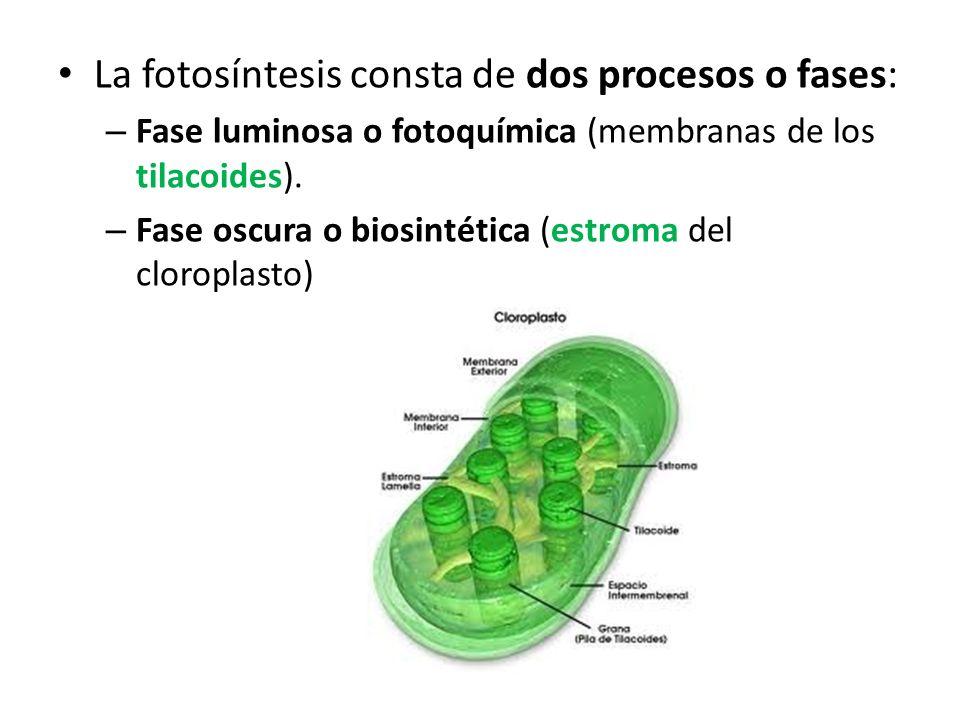 La fotosíntesis consta de dos procesos o fases: – Fase luminosa o fotoquímica (membranas de los tilacoides). – Fase oscura o biosintética (estroma del