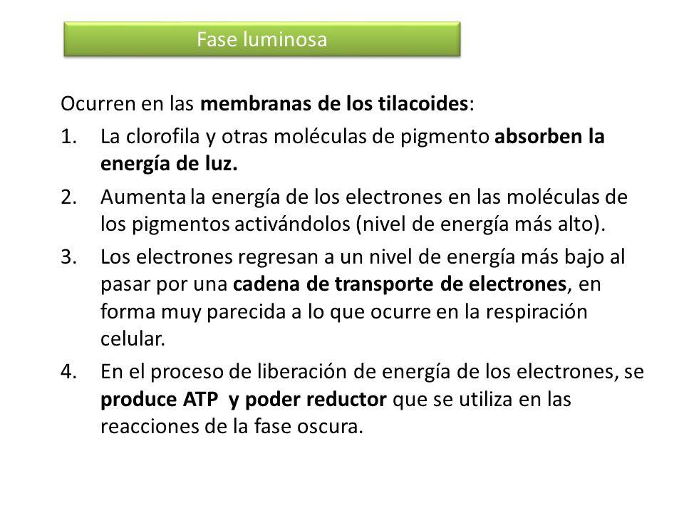 Ocurren en las membranas de los tilacoides: 1.La clorofila y otras moléculas de pigmento absorben la energía de luz. 2.Aumenta la energía de los elect