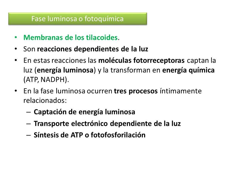 Membranas de los tilacoides. Son reacciones dependientes de la luz En estas reacciones las moléculas fotorreceptoras captan la luz (energía luminosa)