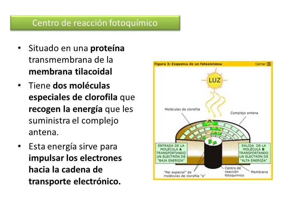 Situado en una proteína transmembrana de la membrana tilacoidal Tiene dos moléculas especiales de clorofila que recogen la energía que les suministra