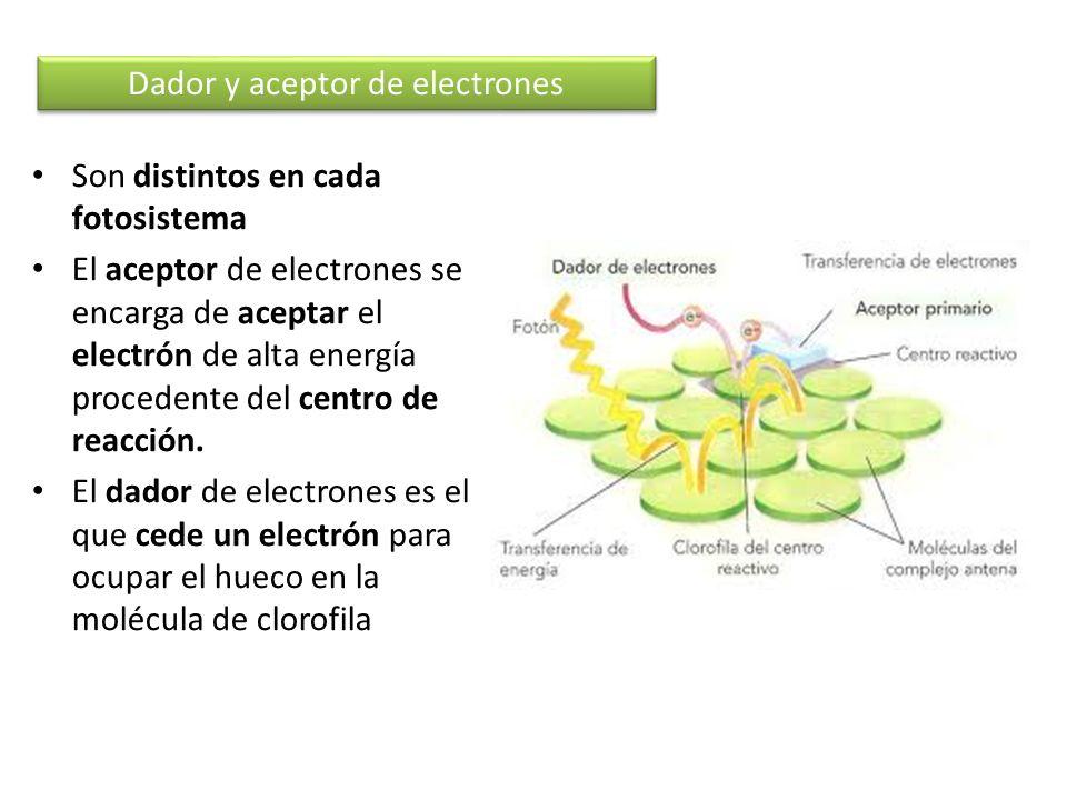 Son distintos en cada fotosistema El aceptor de electrones se encarga de aceptar el electrón de alta energía procedente del centro de reacción. El dad