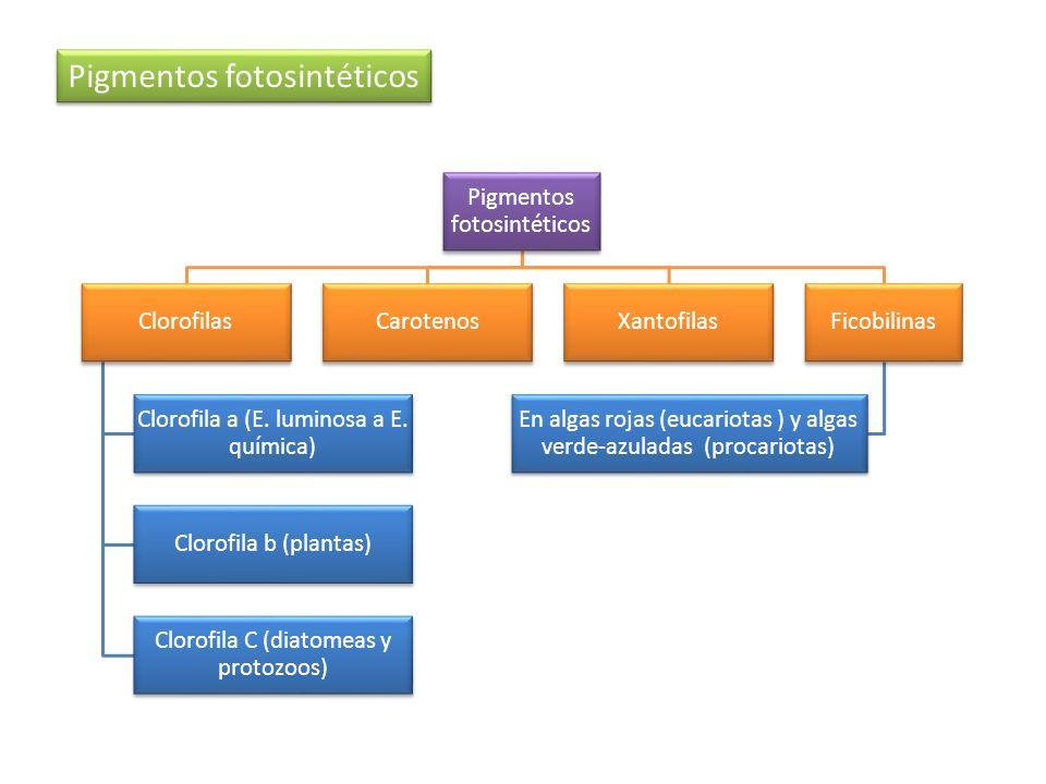 Pigmentos fotosintéticos Clorofilas Clorofila a (E. luminosa a E. química) Clorofila b (plantas) Clorofila C (diatomeas y protozoos) CarotenosXantofil