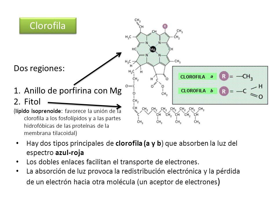 Clorofila Dos regiones: 1.Anillo de porfirina con Mg 2.Fitol (lípido isoprenoide: favorece la unión de la clorofila a los fosfolípidos y a las partes