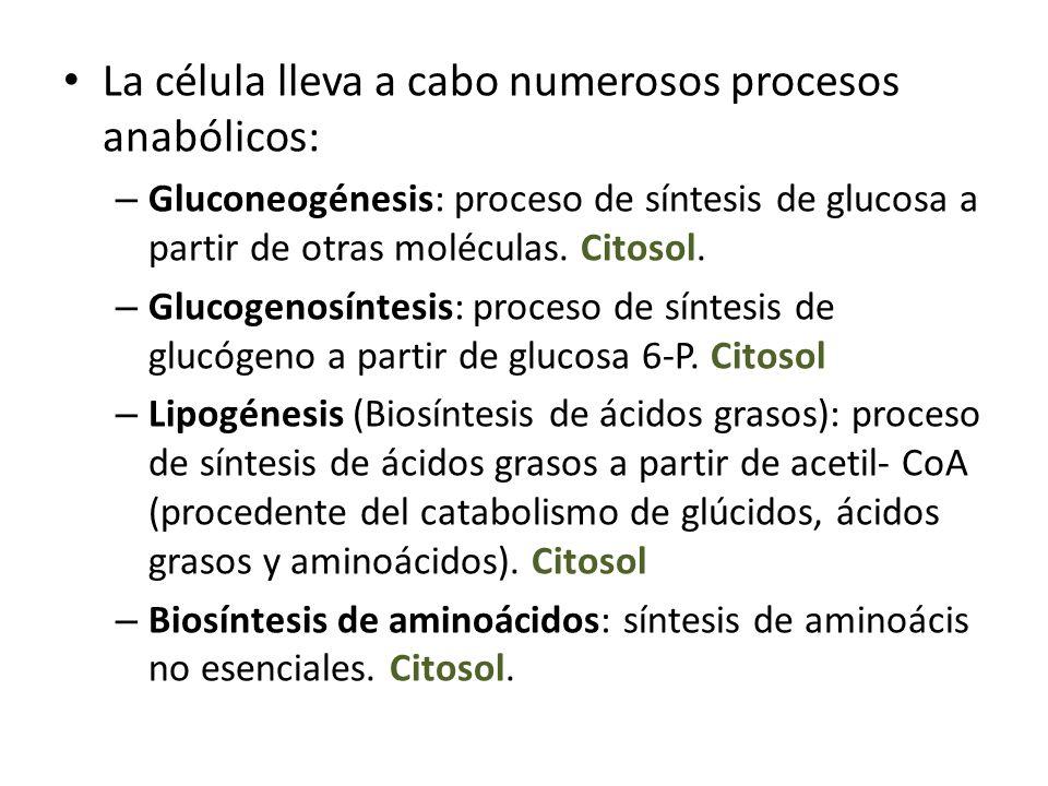 La célula lleva a cabo numerosos procesos anabólicos: – Gluconeogénesis: proceso de síntesis de glucosa a partir de otras moléculas. Citosol. – Glucog