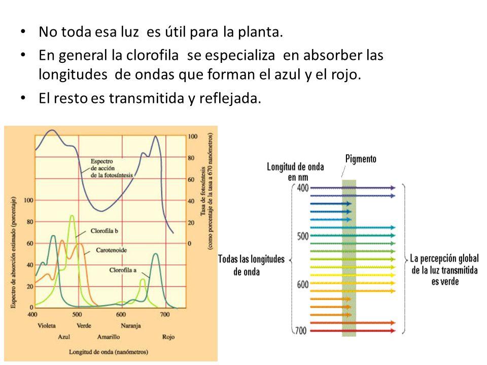 No toda esa luz es útil para la planta. En general la clorofila se especializa en absorber las longitudes de ondas que forman el azul y el rojo. El re