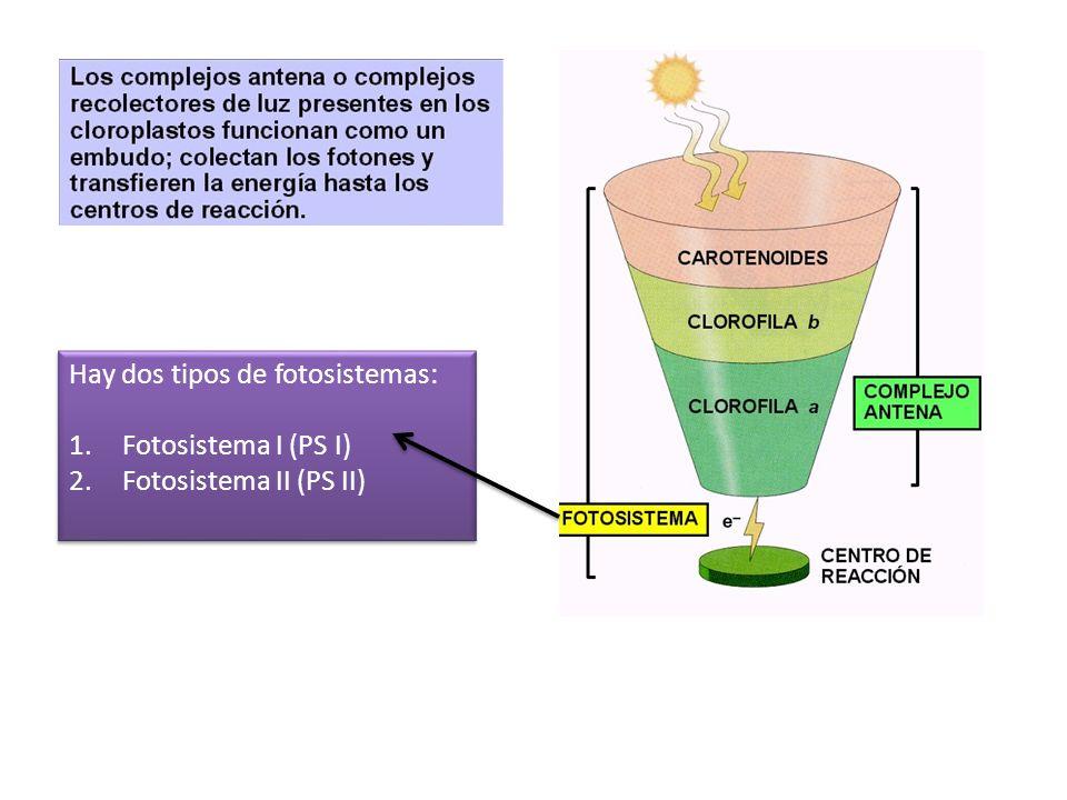 Hay dos tipos de fotosistemas: 1.Fotosistema I (PS I) 2.Fotosistema II (PS II) Hay dos tipos de fotosistemas: 1.Fotosistema I (PS I) 2.Fotosistema II