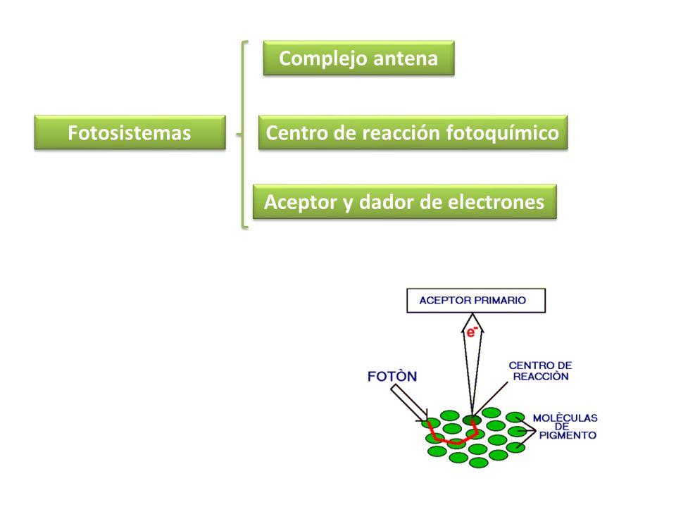 Fotosistemas Aceptor y dador de electrones Centro de reacción fotoquímico Complejo antena