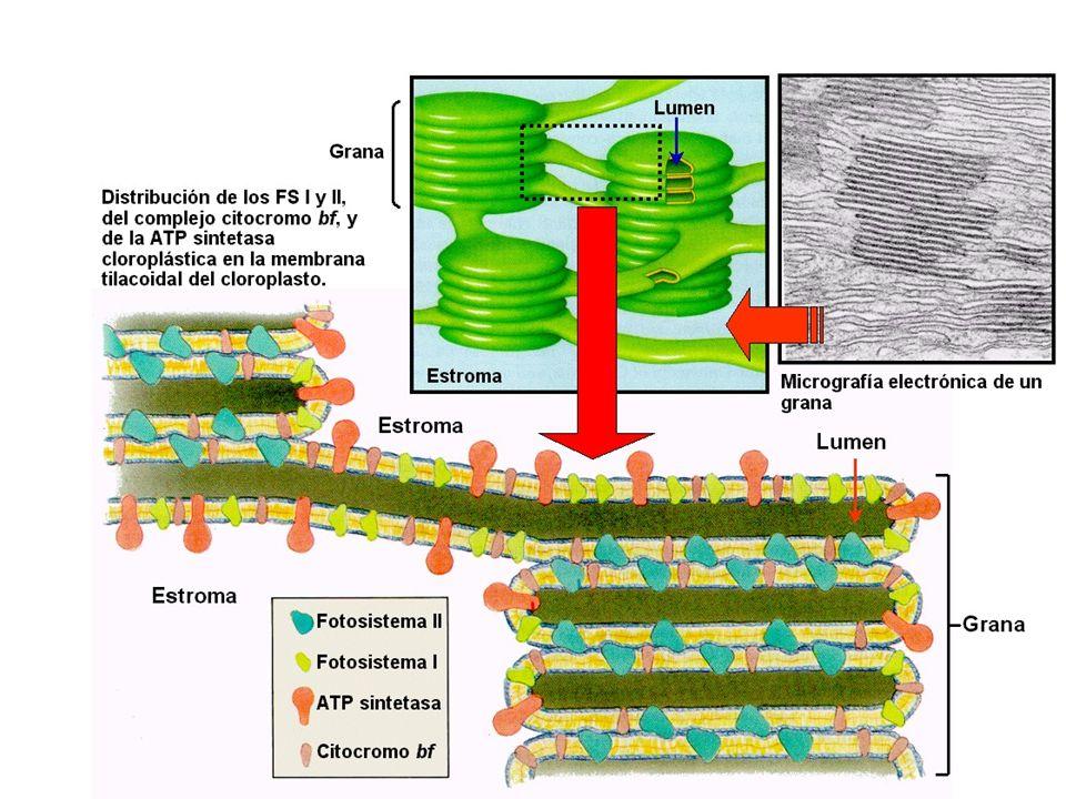 En plantas verdes y cianobacterias hay dos tipos de fotosistemas.