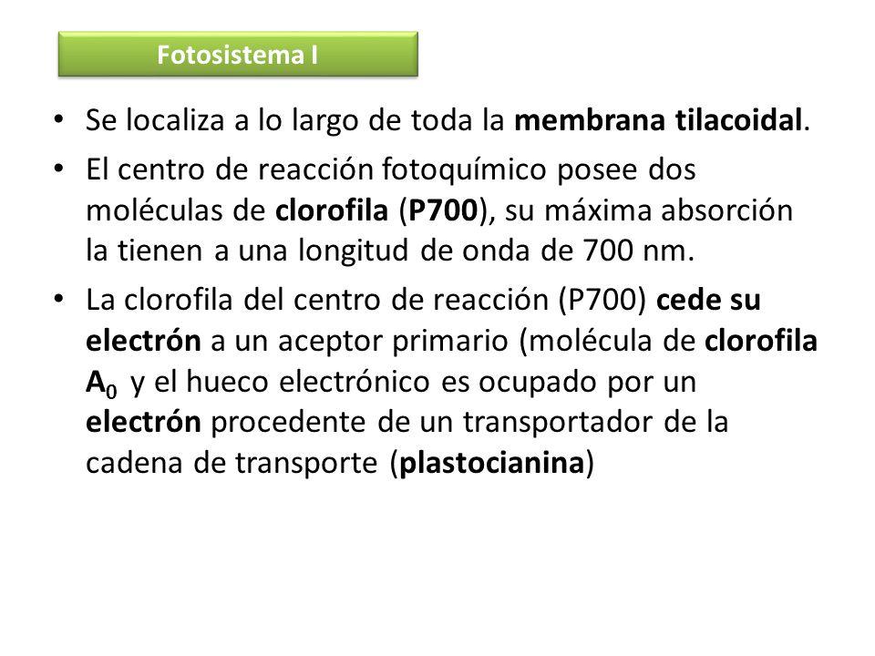 Se localiza a lo largo de toda la membrana tilacoidal. El centro de reacción fotoquímico posee dos moléculas de clorofila (P700), su máxima absorción