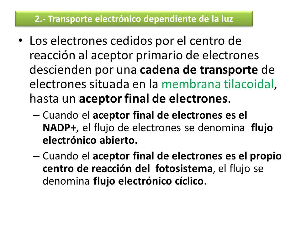 Los electrones cedidos por el centro de reacción al aceptor primario de electrones descienden por una cadena de transporte de electrones situada en la