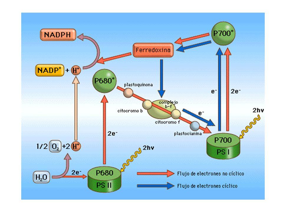 La llegada de un fotón al fotosistema II induce la liberación de un electrón rico en energía de su centro de reacción (P680).