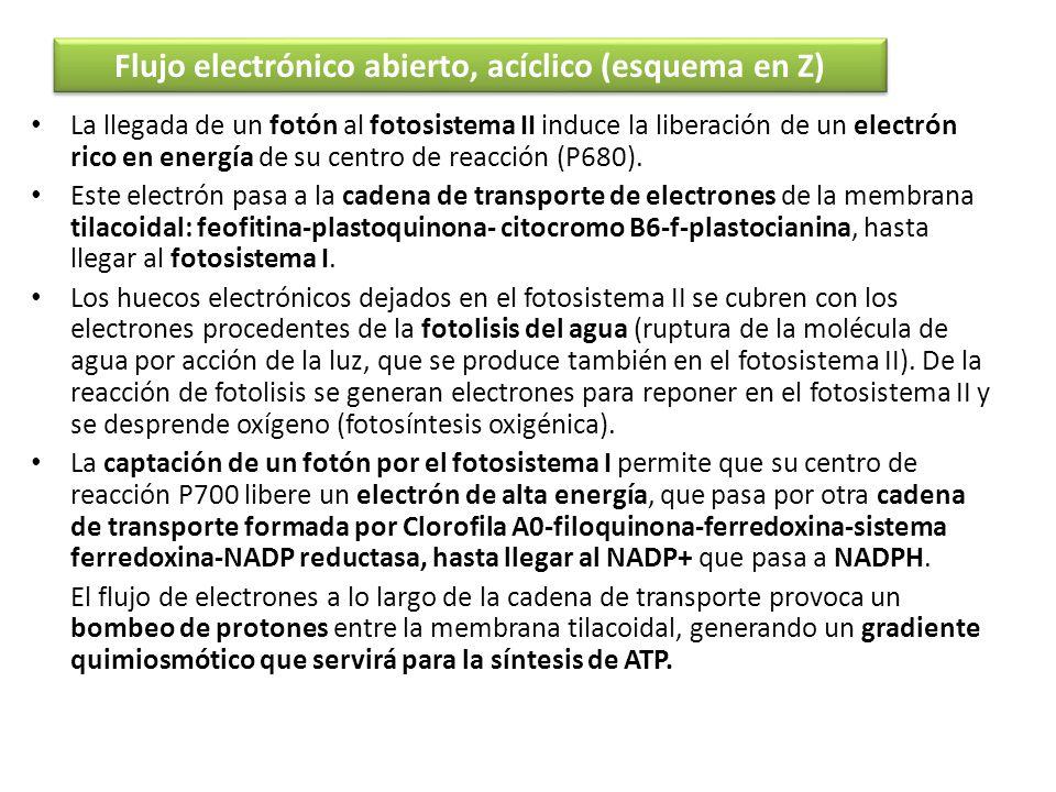 La llegada de un fotón al fotosistema II induce la liberación de un electrón rico en energía de su centro de reacción (P680). Este electrón pasa a la