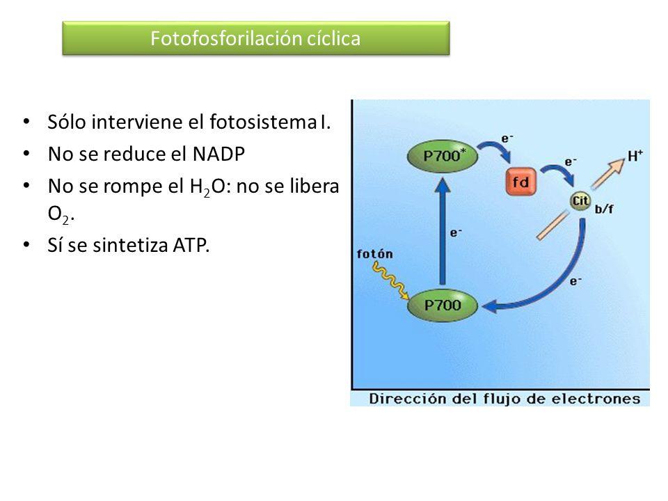 Sólo interviene el fotosistema I. No se reduce el NADP No se rompe el H 2 O: no se libera O 2. Sí se sintetiza ATP. Fotofosforilación cíclica