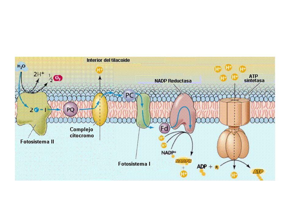 Membrana tilacoidal 3.- Síntesis de ATP o Fotofosforilación El ATP se genera de manera similar al proceso de formación en las mitocondrias.