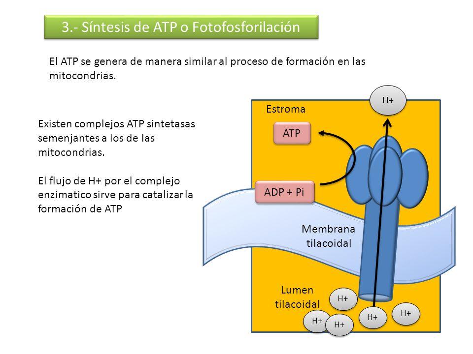 Membrana tilacoidal 3.- Síntesis de ATP o Fotofosforilación El ATP se genera de manera similar al proceso de formación en las mitocondrias. Estroma Lu