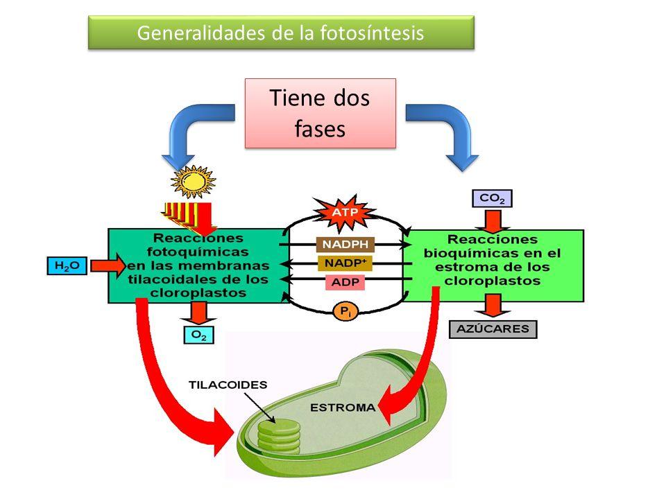 Generalidades de la fotosíntesis Tiene dos fases Fase luminosa Fase oscura Membrana de los tilacoides NADP+ NADPH Fotofosforilación (ATP) Membrana de