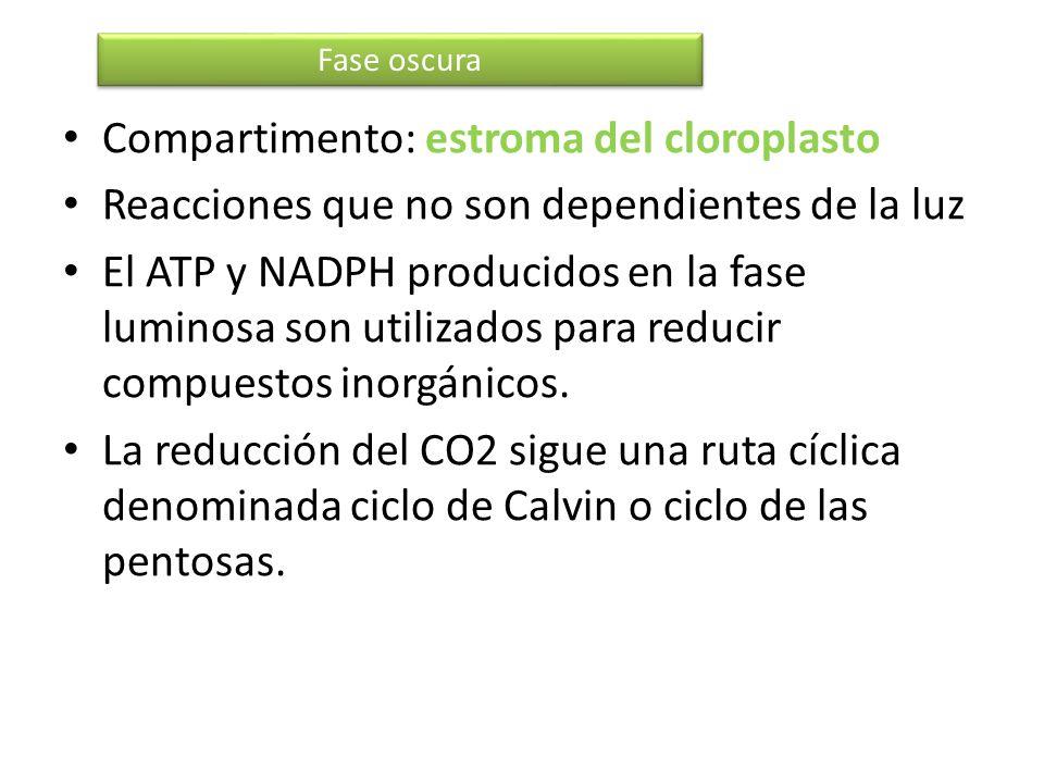 Compartimento: estroma del cloroplasto Reacciones que no son dependientes de la luz El ATP y NADPH producidos en la fase luminosa son utilizados para