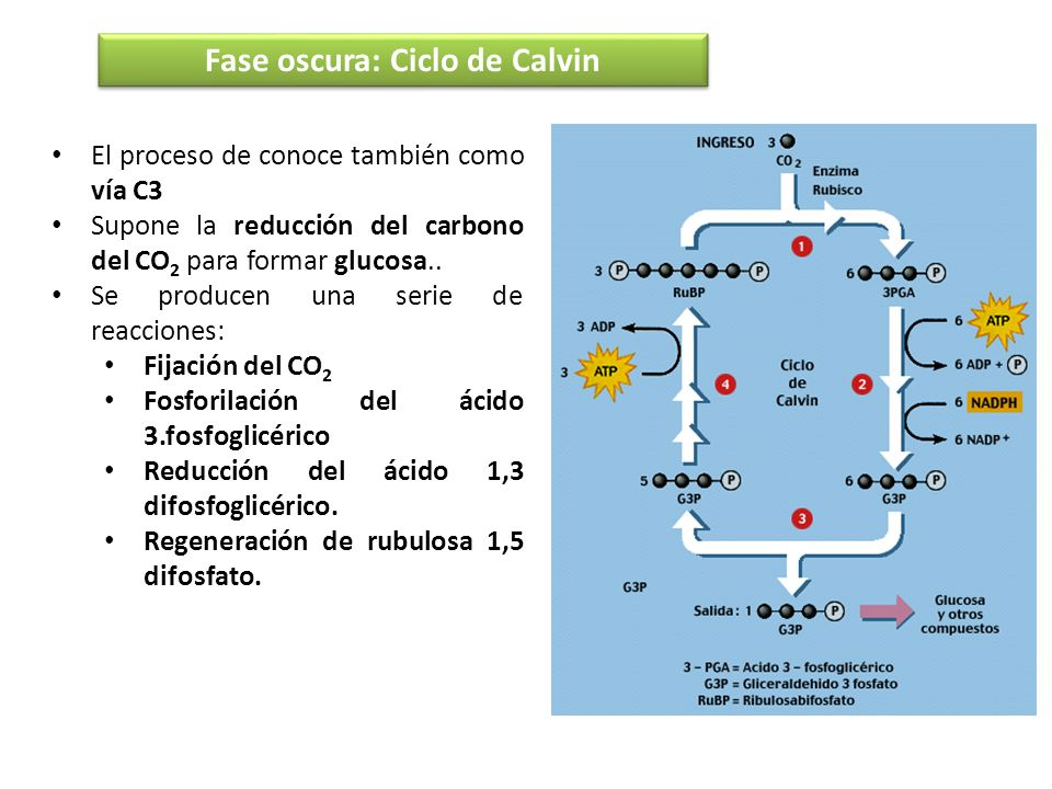 Fase oscura: Ciclo de Calvin El proceso de conoce también como vía C3 Supone la reducción del carbono del CO 2 para formar glucosa.. Se producen una s