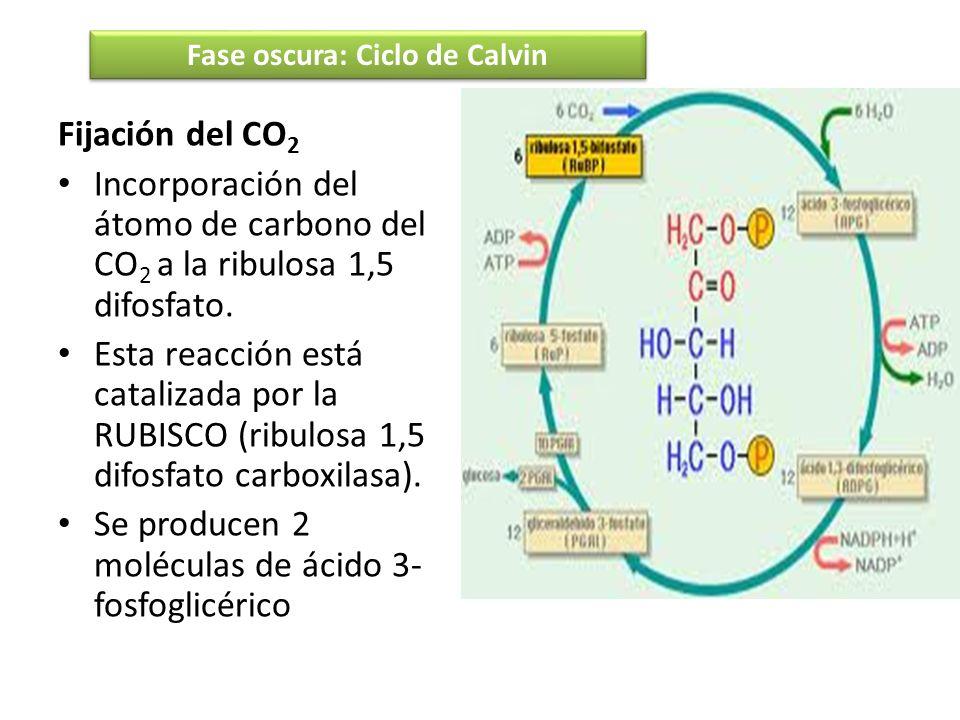 Fijación del CO 2 Incorporación del átomo de carbono del CO 2 a la ribulosa 1,5 difosfato. Esta reacción está catalizada por la RUBISCO (ribulosa 1,5