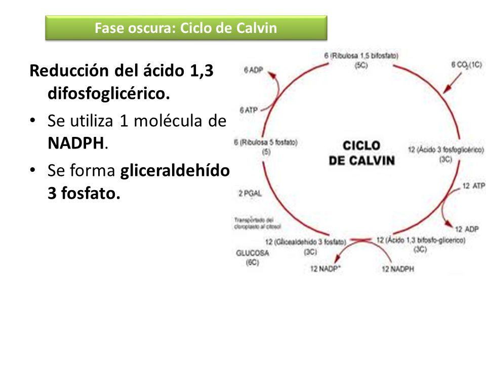 Reducción del ácido 1,3 difosfoglicérico. Se utiliza 1 molécula de NADPH. Se forma gliceraldehído 3 fosfato. Fase oscura: Ciclo de Calvin