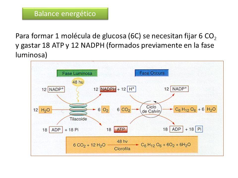 Balance energético Para formar 1 molécula de glucosa (6C) se necesitan fijar 6 CO 2 y gastar 18 ATP y 12 NADPH (formados previamente en la fase lumino