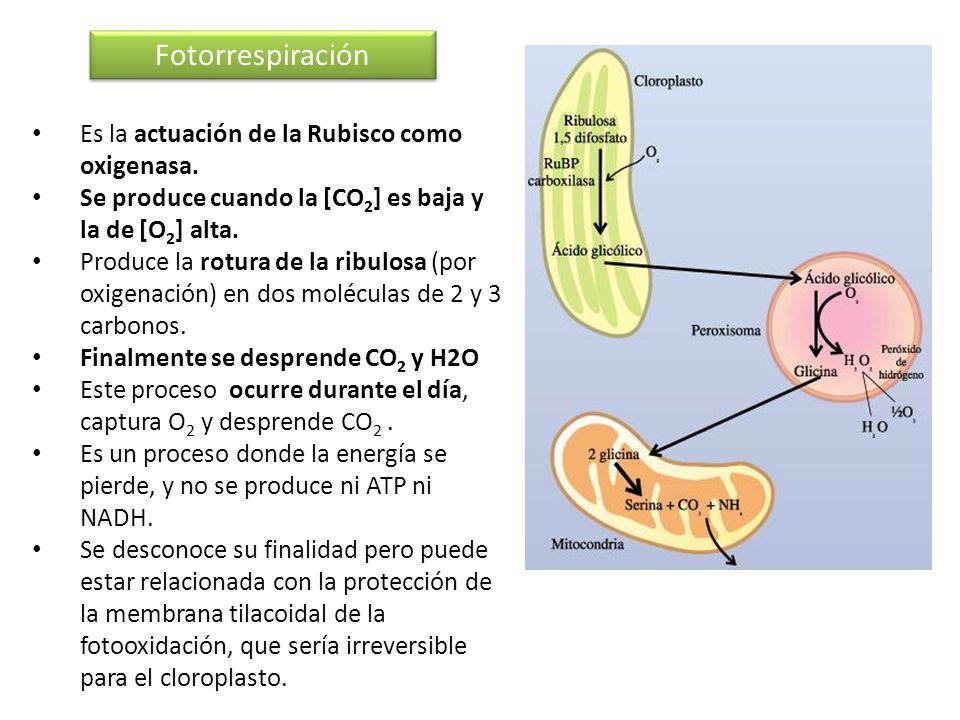 Fotorrespiración Es la actuación de la Rubisco como oxigenasa. Se produce cuando la [CO 2 ] es baja y la de [O 2 ] alta. Produce la rotura de la ribul