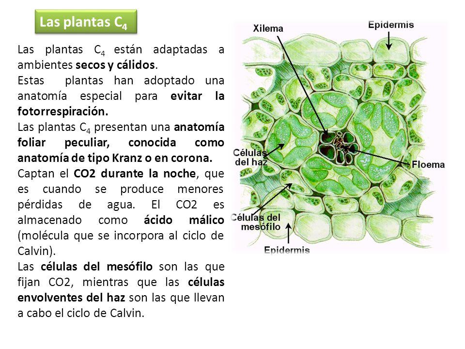 Las plantas C 4 están adaptadas a ambientes secos y cálidos. Estas plantas han adoptado una anatomía especial para evitar la fotorrespiración. Las pla