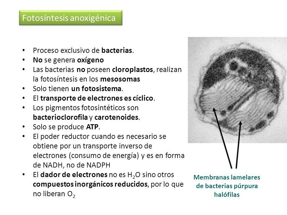 Proceso exclusivo de bacterias. No se genera oxígeno Las bacterias no poseen cloroplastos, realizan la fotosíntesis en los mesosomas Solo tienen un fo