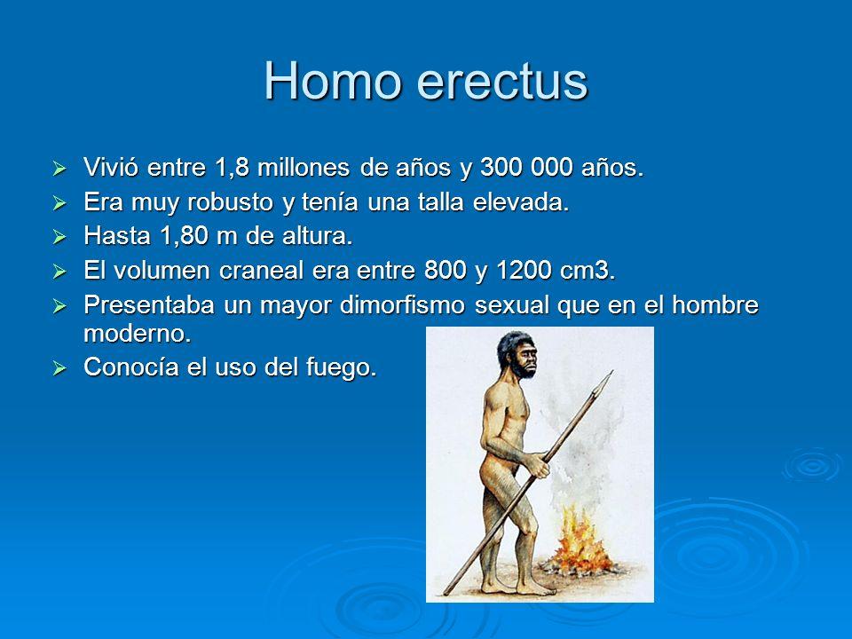 Homo erectus Vivió entre 1,8 millones de años y 300 000 años. Vivió entre 1,8 millones de años y 300 000 años. Era muy robusto y tenía una talla eleva