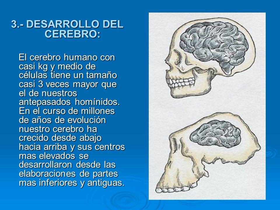 3.- DESARROLLO DEL CEREBRO: El cerebro humano con casi kg y medio de células tiene un tamaño casi 3 veces mayor que el de nuestros antepasados homínid