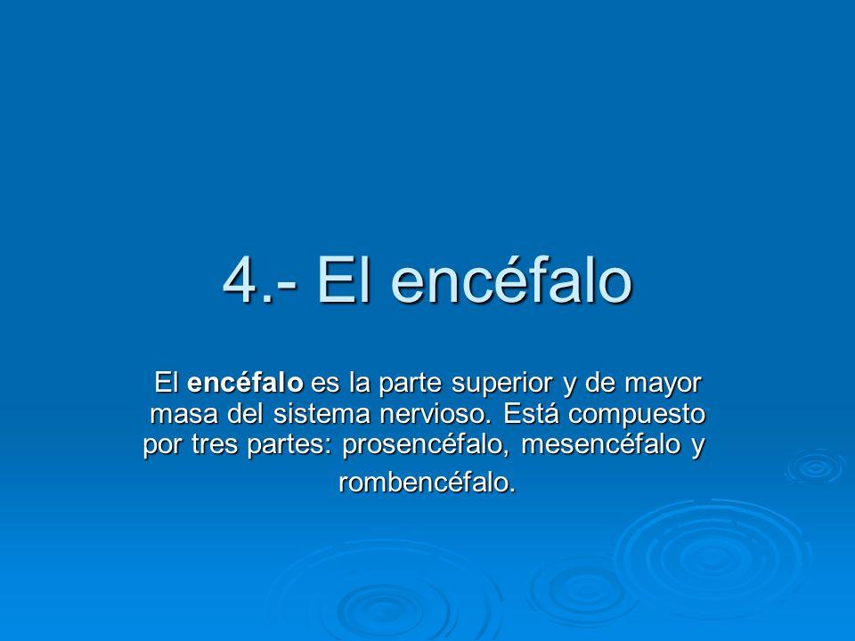 4.- El encéfalo El encéfalo es la parte superior y de mayor masa del sistema nervioso. Está compuesto por tres partes: prosencéfalo, mesencéfalo y El