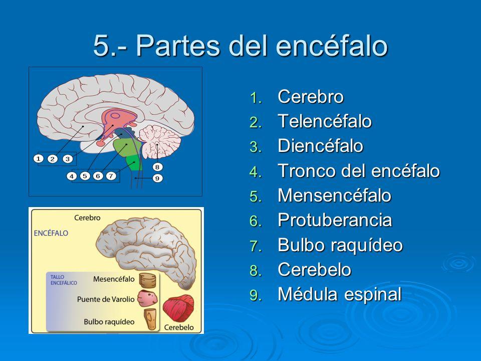 5.- Partes del encéfalo 1. Cerebro 2. Telencéfalo 3. Diencéfalo 4. Tronco del encéfalo 5. Mensencéfalo 6. Protuberancia 7. Bulbo raquídeo 8. Cerebelo