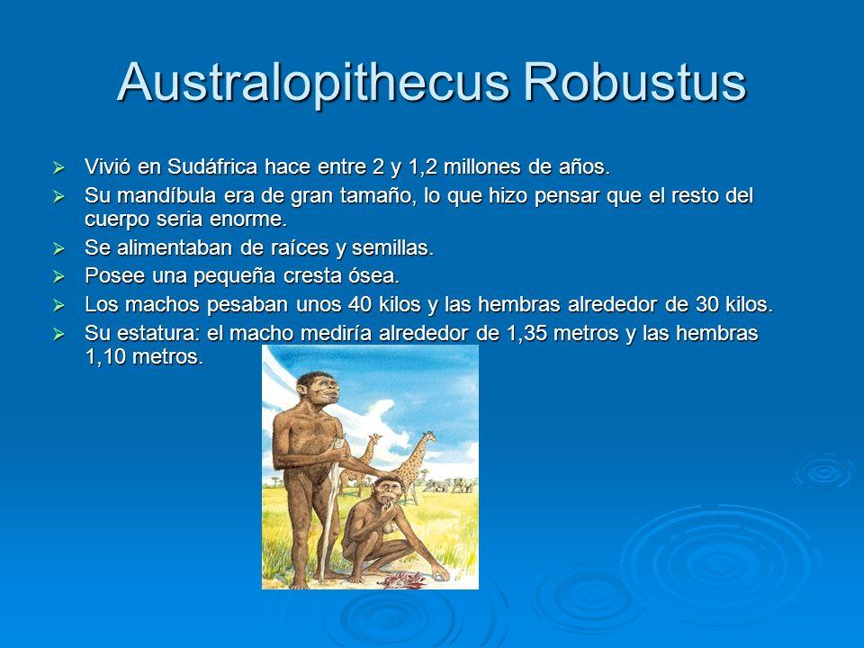 Australopithecus Robustus Vivió en Sudáfrica hace entre 2 y 1,2 millones de años. Vivió en Sudáfrica hace entre 2 y 1,2 millones de años. Su mandíbula