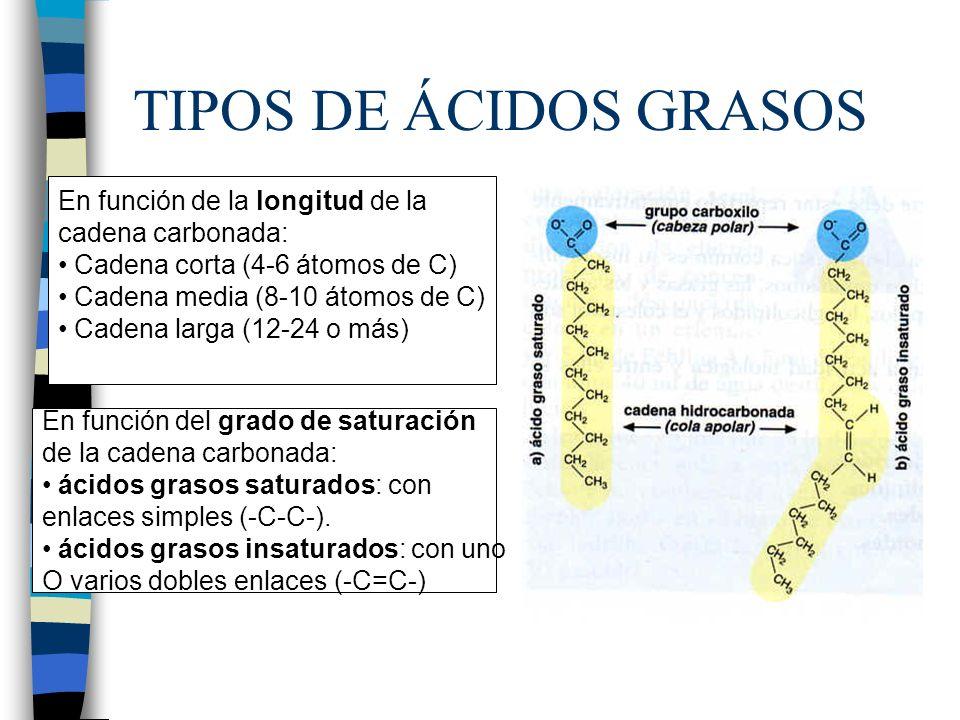 TIPOS DE ÁCIDOS GRASOS En función de la longitud de la cadena carbonada: Cadena corta (4-6 átomos de C) Cadena media (8-10 átomos de C) Cadena larga (