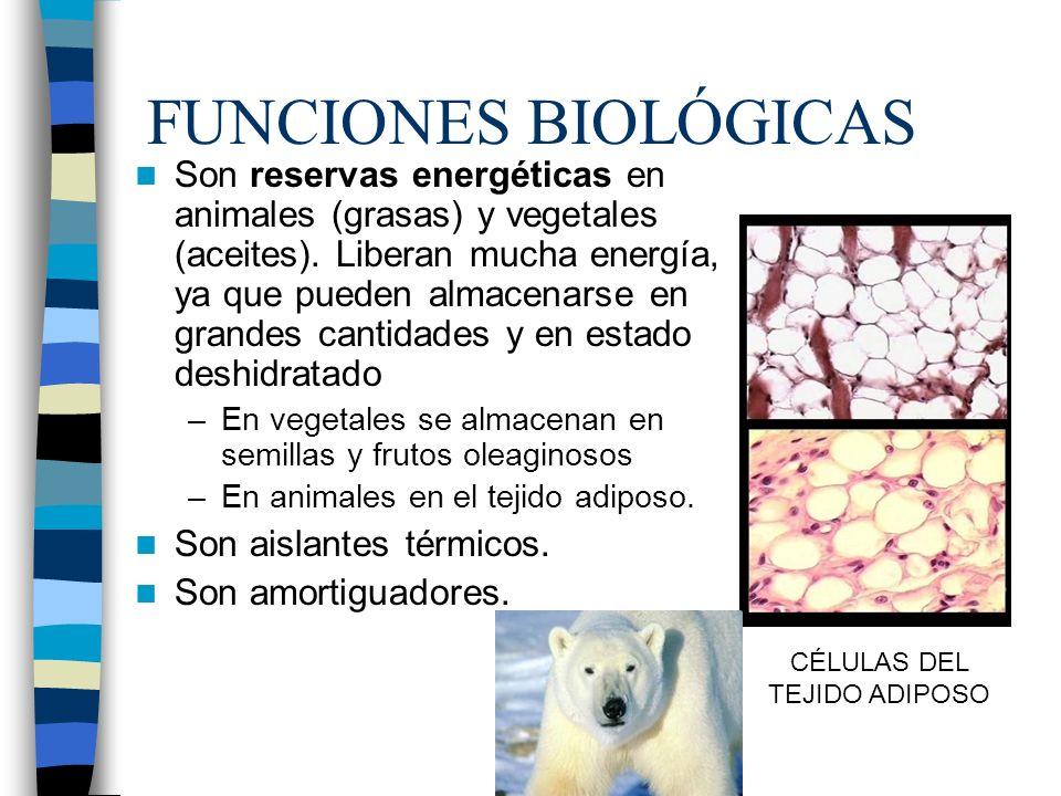 FUNCIONES BIOLÓGICAS Son reservas energéticas en animales (grasas) y vegetales (aceites). Liberan mucha energía, ya que pueden almacenarse en grandes
