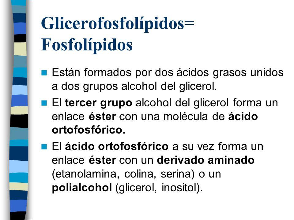 Glicerofosfolípidos= Fosfolípidos Están formados por dos ácidos grasos unidos a dos grupos alcohol del glicerol. El tercer grupo alcohol del glicerol