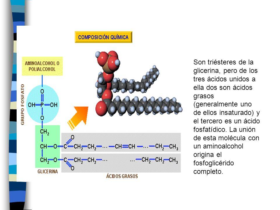 Son triésteres de la glicerina, pero de los tres ácidos unidos a ella dos son ácidos grasos (generalmente uno de ellos insaturado) y el tercero es un