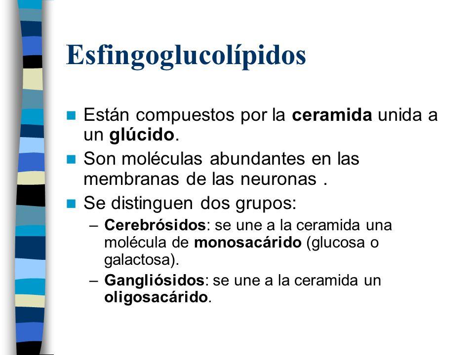 Esfingoglucolípidos Están compuestos por la ceramida unida a un glúcido. Son moléculas abundantes en las membranas de las neuronas. Se distinguen dos