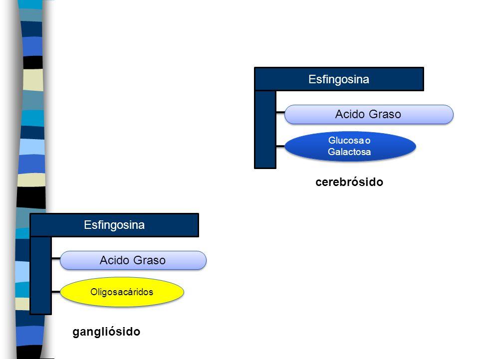 Esfingosina Acido Graso Glucosa o Galactosa Esfingosina Acido Graso Oligosacáridos cerebrósido gangliósido