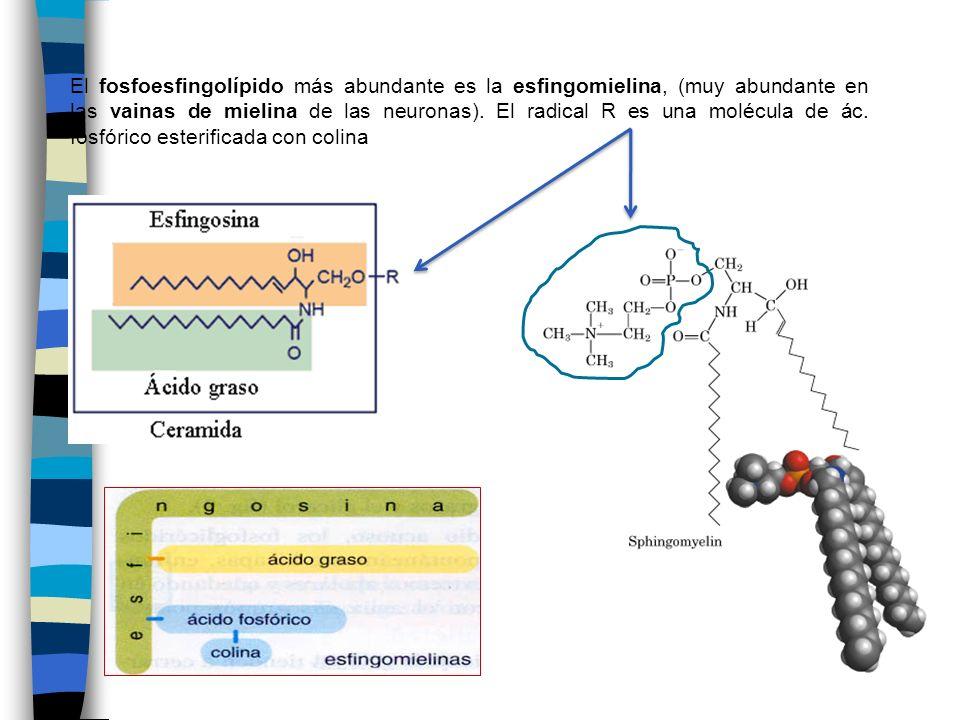 El fosfoesfingolípido más abundante es la esfingomielina, (muy abundante en las vainas de mielina de las neuronas). El radical R es una molécula de ác