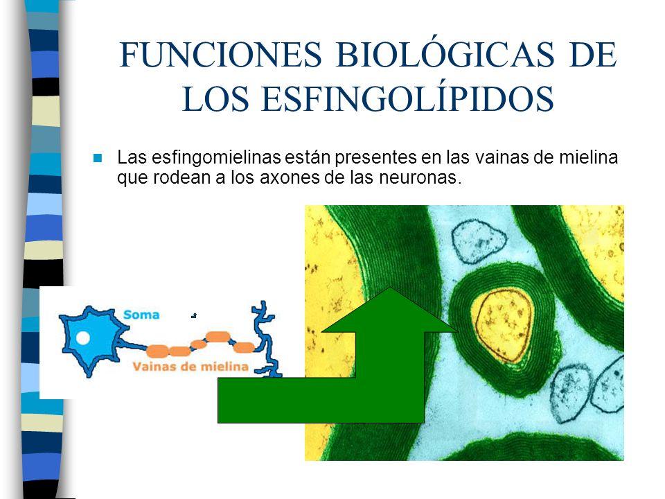FUNCIONES BIOLÓGICAS DE LOS ESFINGOLÍPIDOS Las esfingomielinas están presentes en las vainas de mielina que rodean a los axones de las neuronas.