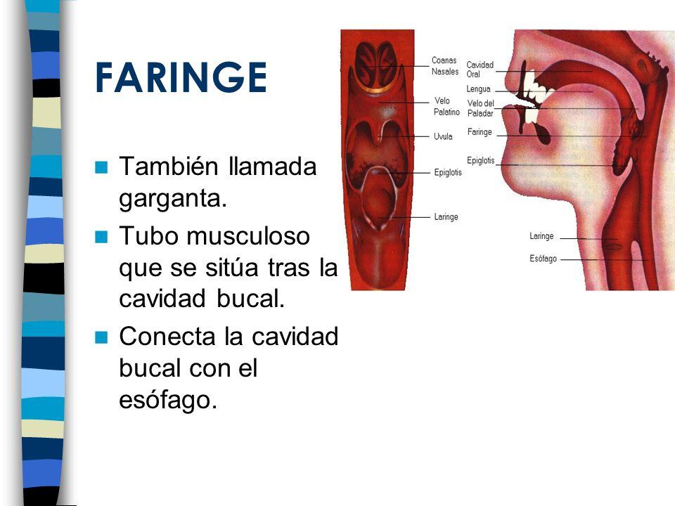FARINGE También llamada garganta. Tubo musculoso que se sitúa tras la cavidad bucal. Conecta la cavidad bucal con el esófago.