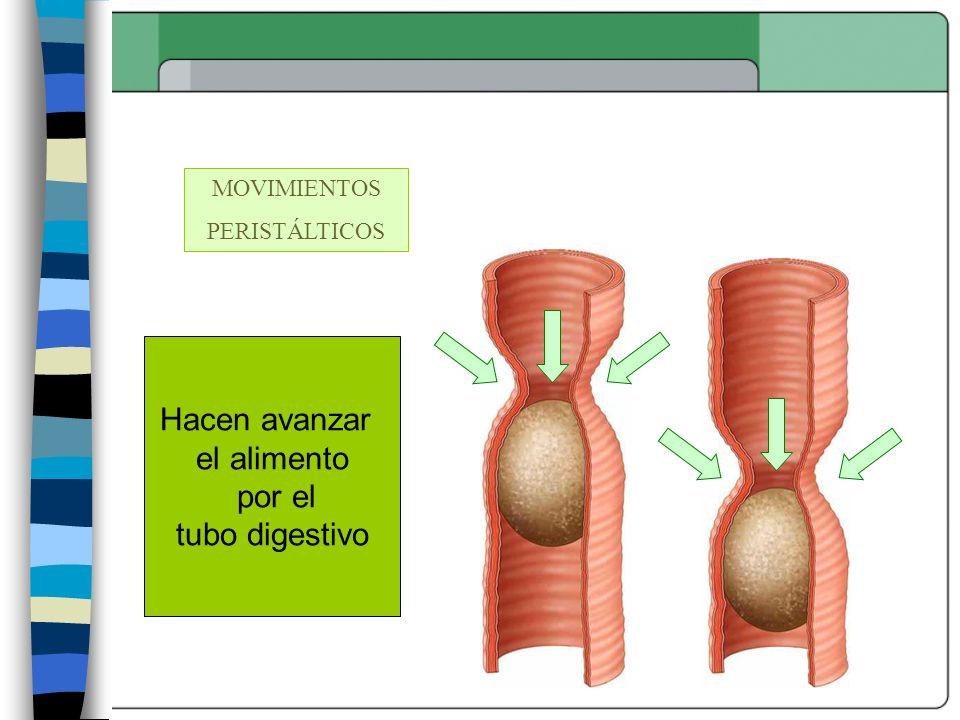 MOVIMIENTOS PERISTÁLTICOS Hacen avanzar el alimento por el tubo digestivo