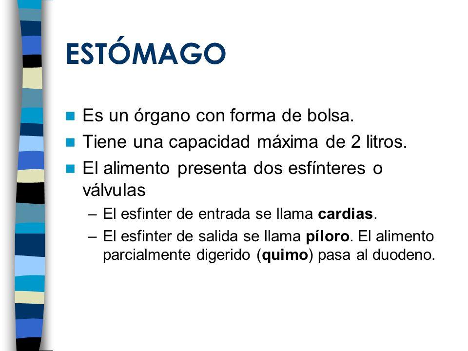 ESTÓMAGO Es un órgano con forma de bolsa. Tiene una capacidad máxima de 2 litros. El alimento presenta dos esfínteres o válvulas –El esfinter de entra